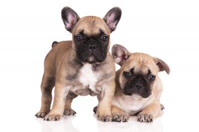 Väggdekor två beige franska bulldog valpar på vit