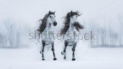 Väggdekor Två runniggrå långhåriga renrasiga spanska hästar över snöiga veck.