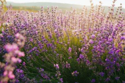 Väggdekor Vacker lavendel fält