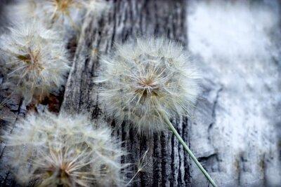 Väggdekor Vacker maskros frön - fluffig blowball