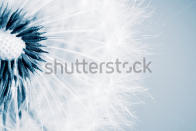 Väggdekor Vacker maskros med frön, närbild