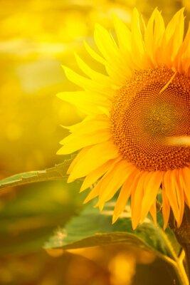 Väggdekor Vacker solros i fält