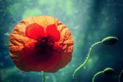 Väggdekor Vacker vallmo blomma mot upplysta grön bakgrund, bakgrundsbelysning