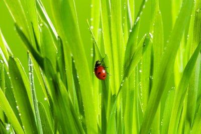 Väggdekor vackra nyckelpiga på det gröna gräset