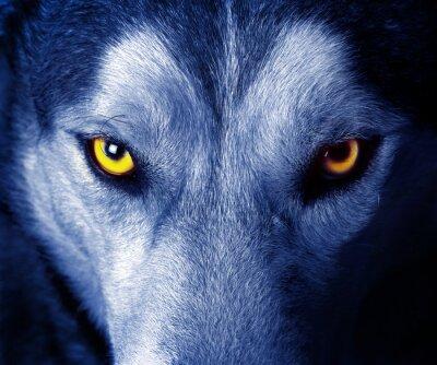 Väggdekor vackra ögon en vild varg.