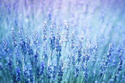Väggdekor Vackra suddiga blommande lavendel växter närbild bakgrund. Blå violett färgfilter och selektiv inriktning används.