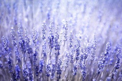 Väggdekor Vackra suddiga blommande lavendel växter närbild bakgrund. Blåvioletta färgfilter och selektiv inriktning används.