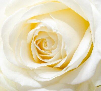 Väggdekor Vackra vita ros