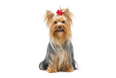 Väggdekor Vackra yorkshire terrier sittande