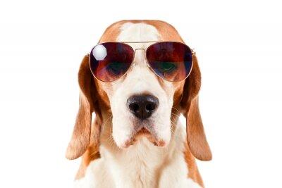 Väggdekor vaktpost hund i solglasögon på vit