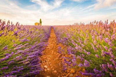 Väggdekor Valensole, Provence, Frankrike. Lavendel fält fullt av lila blommor