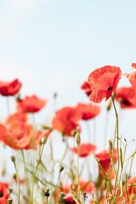 Väggdekor Vallmo blommor retro fredliga sommar bakgrund