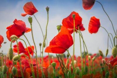 Väggdekor Vallmo - The Poppy Field