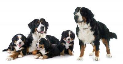 Väggdekor valpar och vuxna bernese moutain hund
