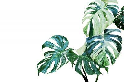 Väggdekor Variegated Leaves of Monstera, Split Leaf Philodendron Plant Isolated on White Background
