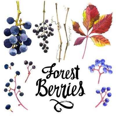Väggdekor Vattenfärg uppsättning vilda druvor. Samling av herbarium trädgård.