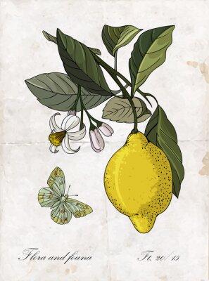Väggdekor Vektor handen ritning citron branch.Botanical illustration.
