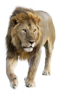 Väggdekor Vild fri roaming manliga lejon mot vit bakgrund