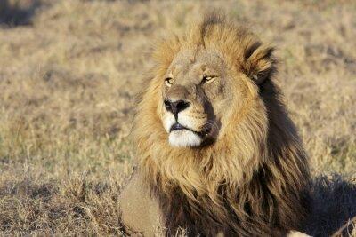 Väggdekor Vilda manliga lejon porträtt