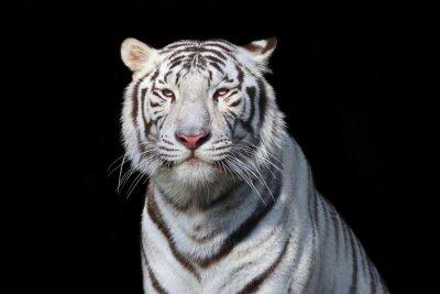 Väggdekor Vit bengal tiger på svart bakgrund. Den farligaste odjuret visar sitt lugn storhet. Vilda skönheten i en svår stor katt.