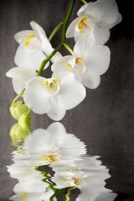 Väggdekor Vit orkidé på grå bakgrund.