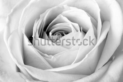 Väggdekor Vit ros, svartvit makro