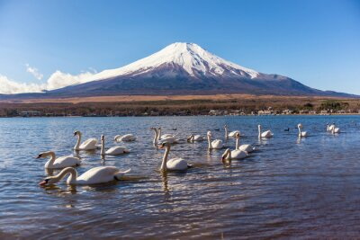 Väggdekor vit svan swimimg i Yamanaka sjö, fem sjö Fuji