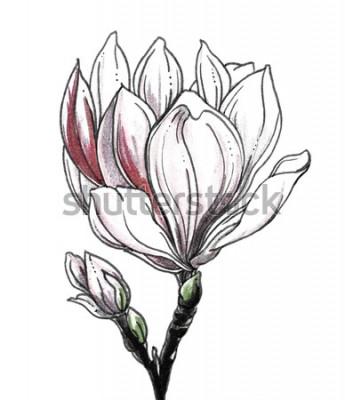 Väggdekor Vit tropisk blommablomning för vit magnoli på vit bakgrund. Handritad akvarell botanisk svartvit monokrom illustration för bröllopstryck, kort, inbjudan. Japansk stil. Retro, vintage.