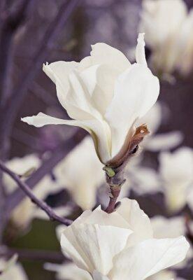 Väggdekor Vita magnolia blommor