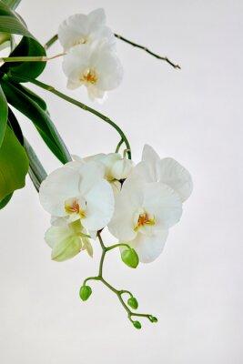 Väggdekor White orchid