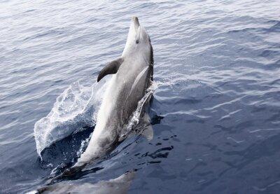 Väggdekor Wild flasknosdelfin