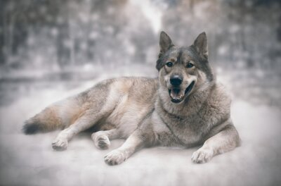 Väggdekor Wolf / lycklig av varg på snö bakgrund.