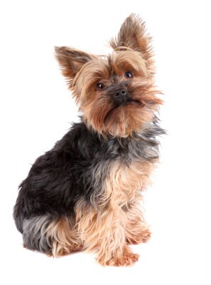 Väggdekor Yorkshire terrier